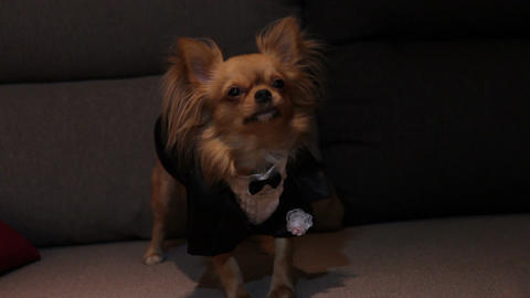a dog in a wedding suit Footage