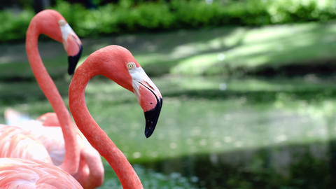 Graceful american flamingos standing still Footage