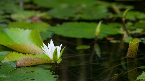 Timelapse of water lily blooming Footage