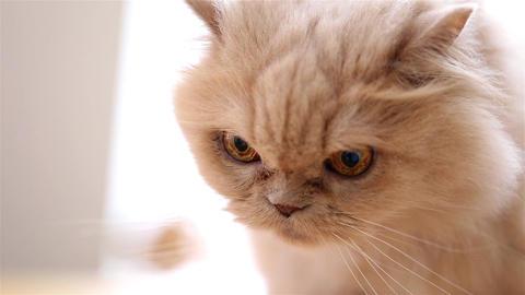 Macro persian cat face wide aperture lens shot Footage