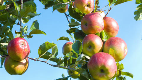 Apples Branch On Blue Sky stock footage