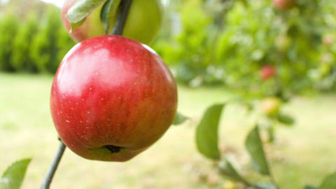 Apples on apple tree Footage