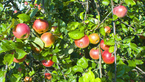 Apple tree with bunch of red apples Footage