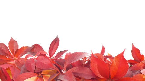 Red autumn leaves Footage