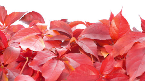 Autumn red falls leaves Footage