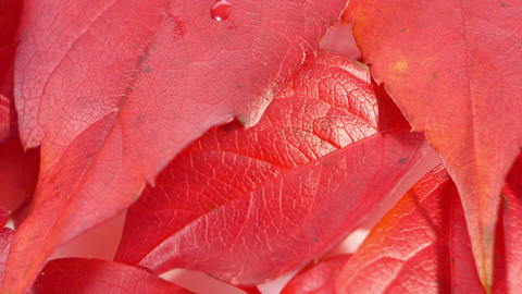 Beautiful autumn red falls leaves Footage
