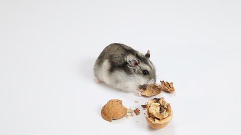Hamster and walnut ライブ動画
