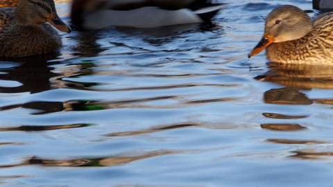 Flock of ducks on the water Footage