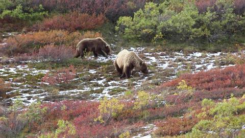 Two brown bears eating berries in Denali Footage