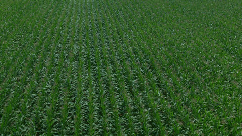 AERIAL: Green maize field Footage
