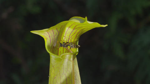 SLOW MOTION: Wasp falls into the carnivorous plant Live Action