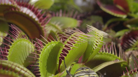 SLOW MOTION: Spider falls in carnivorous plant and Live Action