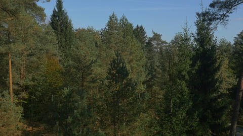 AERIAL: Autumn pine tree forest Footage