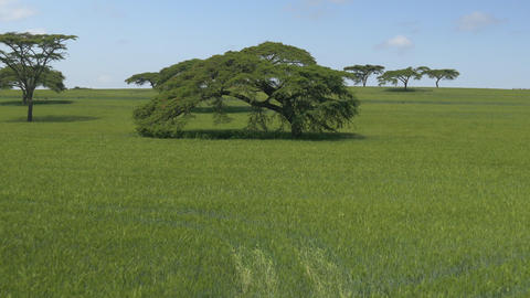 AERIAL: Yellow and green wheat field in Kenya Footage