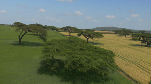 AERIAL: Acacia trees on a big wheat field in Afric Footage