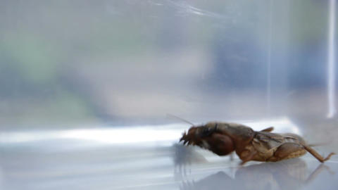 Gryllotalpidae - Mole Cricket Live Action