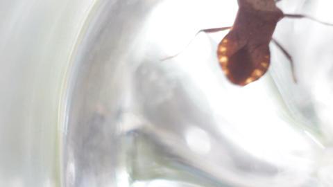 Picromerus bidens - bug Footage