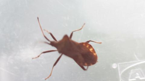 Picromerus bidens, bug Live Action