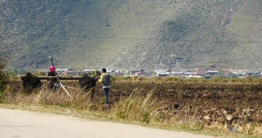 4k tibetan people use strong yak Arable land in shangrila yunnan,china Footage