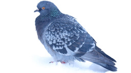 Dove In Snow stock footage