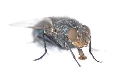 Fly drinking water Footage