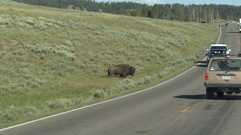 Yellowstone National Park. Bison Atack Footage