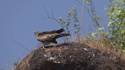 Bird Prey Stone stock footage