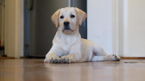 Labrador Puppy stock footage