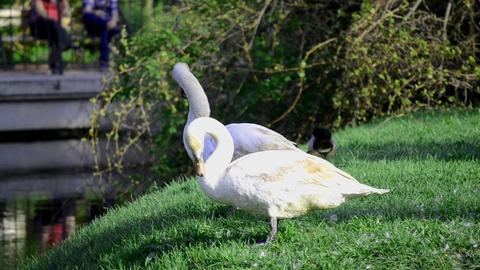 Swans in a public park Footage