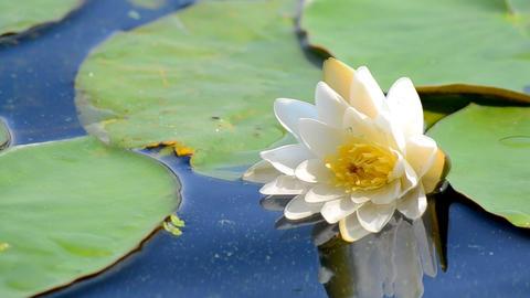 White Lotus Flower Footage