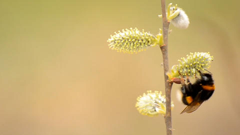 bee collects nectar from flowers Footage