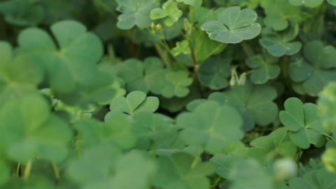 Clover Plant Close Up Dolly stock footage