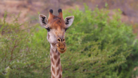 2 angles - Giraffe eating looking at camera Footage