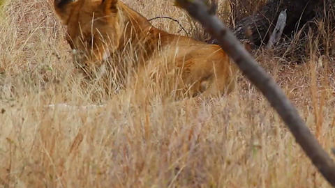 2 angles - 2 female lion - licking and sleeping Footage