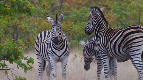 3 angles - Zebras in the savannah - wide to closeu Footage