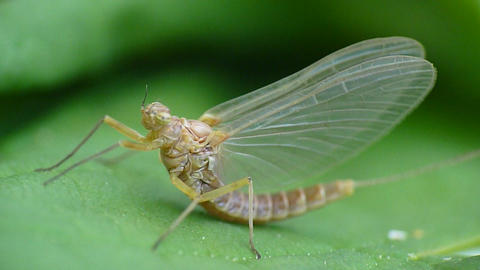 Mayfly, Fishing Fly, Close-up stock footage