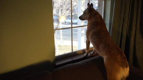Dog Securing the Area Looking out Window Live Action