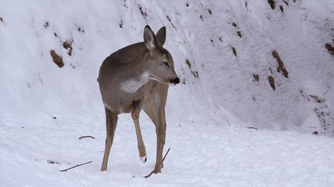 Deer roe foraging for food in the snowy woods, 4k Footage