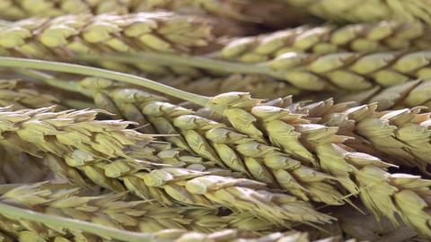 Ears of Wheat Footage