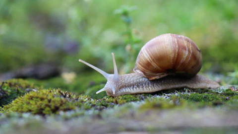 Snail Crawling Over Moss stock footage