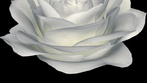 White Rose - Down Transition - Alpha stock footage
