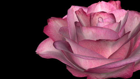 Pink Rose - Rignt Transition - Alpha Animation