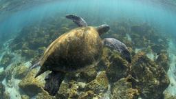 Green Sea Turtle Underwater stock footage