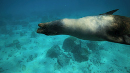 Sealion Playing With Pebble Underwater stock footage