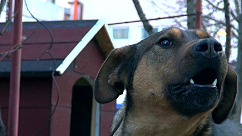 dog rough barking Footage