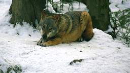 Wolves Playing And Move Through A Forested Area In stock footage