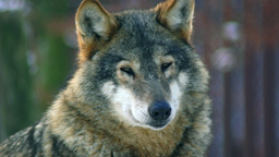Wolves playing and move through a forested area in Live Action