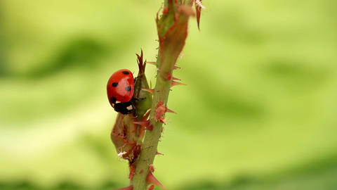Ladybug Enemy Of The Aphid stock footage