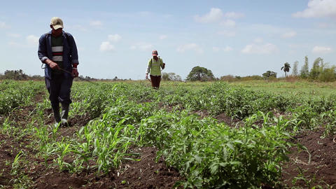 Pests In Agriculture Men At Work As Peasants Spray stock footage