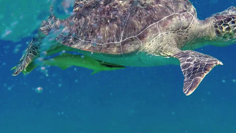Marine Animals With Sea Turtle Swimming In Red Sea stock footage